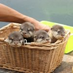 Make Your Dream of Swimming with child Otters Come proper – individuals Pets (blog)