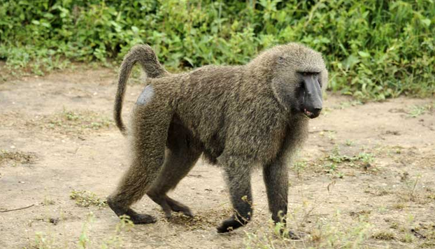 Breaking - Baboon Escapes From Jos Wildlife Park