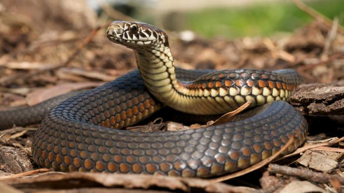 Woman laments as snake given to her by native doctor to make her rich starts having sex with her