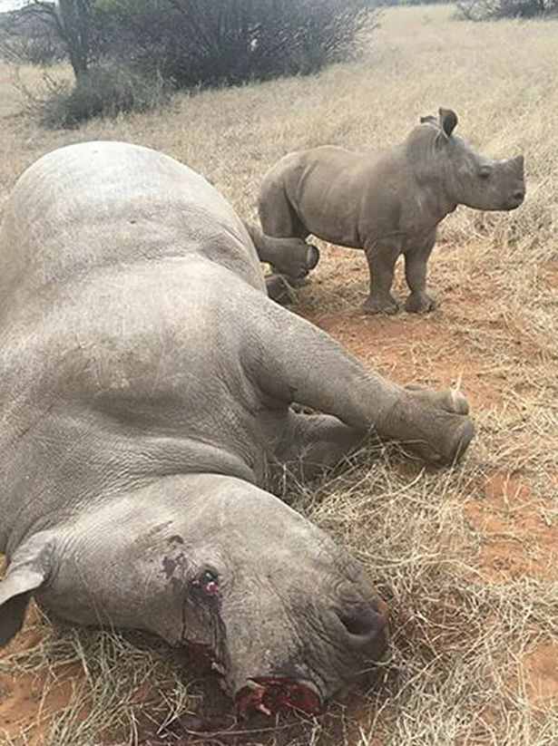 Rhinos, 6 Rhinos Shot & Butchered For Their Horns In One Night At A South African Reserve, Latest Nigeria News, Daily Devotionals & Celebrity Gossips - Chidispalace
