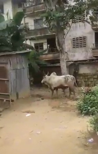 hausa man turns to cow to a cow to escape in Aba